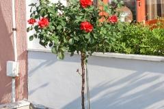 Красиви, розови храсти